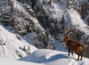 Amazing Pictures of Animals, Photo, Nature, Incredibel, Funny, Zoo, Alpine ibex, Capra ibex, Mammalia, Alex (7)