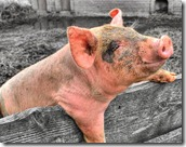dirty-pigs-flickr