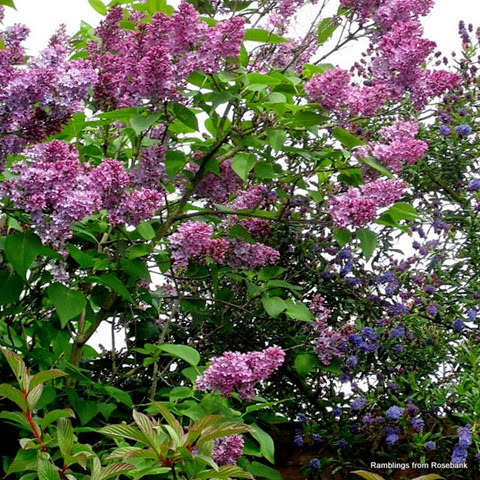 lilac blossom and ceanothus