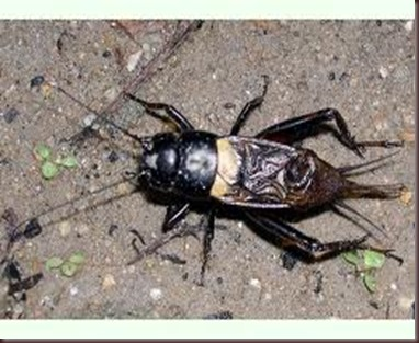 Amazing Pictures of Animals.Cricket (insect) Gryllidae true crickets (3)