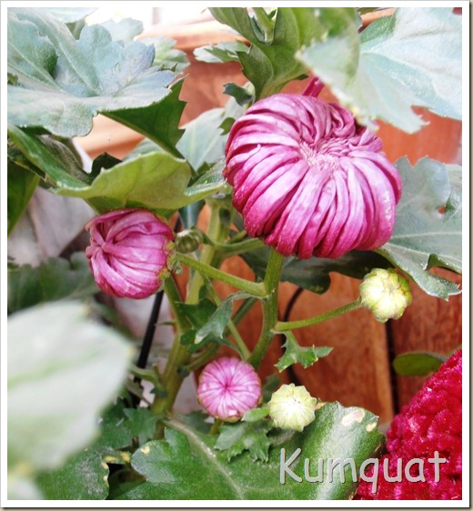 crisantemo turner 4