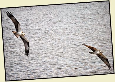 03b - Osprey