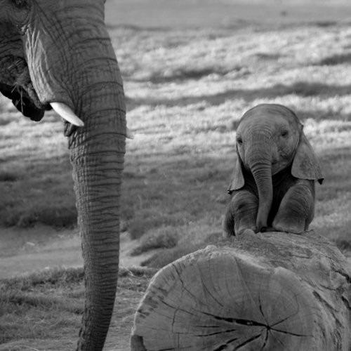 fotos animais  bebe elefante[7].jpg