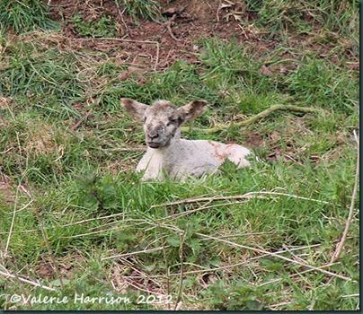 6-lamb