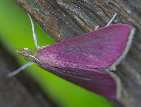 Pink Moth 01