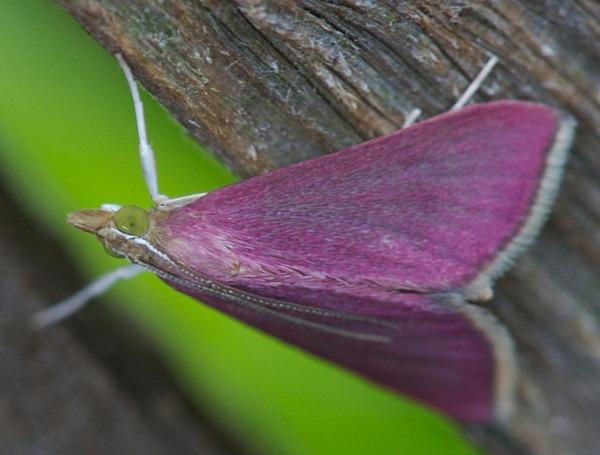 Pink Moth 01