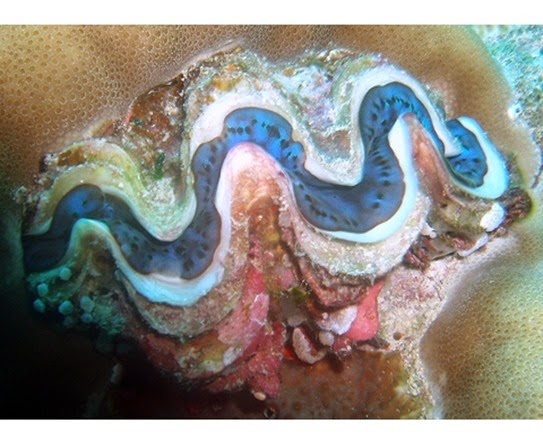 Amazing Pictures of Animals, Photo, Nature, Incredibel, Funny, Zoo, Fluted giant clam, Tridacna squamosascaly clam, Alex (21)