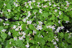 Cymbalaria 'Alba Compacta' OR Kenilworth Ivy is actually native to Europe's Mediterranean region.  It will also do well on the path.