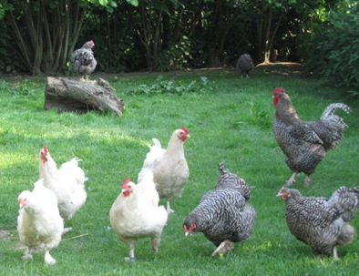 10 Hühner