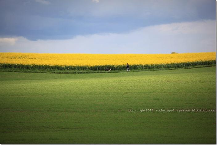 rzepakowe pola (8)
