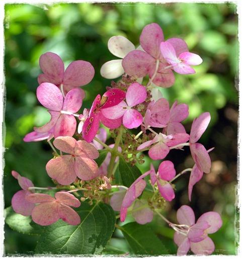 10 hortensia