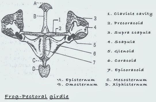 pectoral girdle -frog