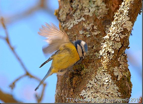 sinitiainen  lintuja 042