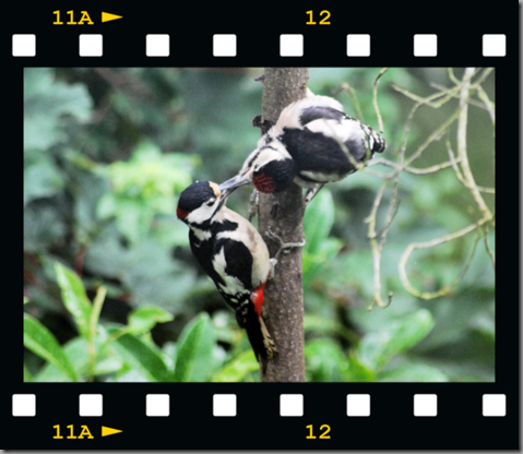 Male woodpecker feeding young 05 film png