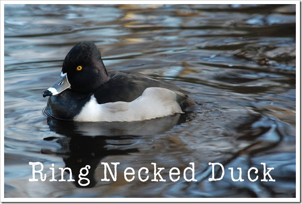 Ring-Necked Duck 2