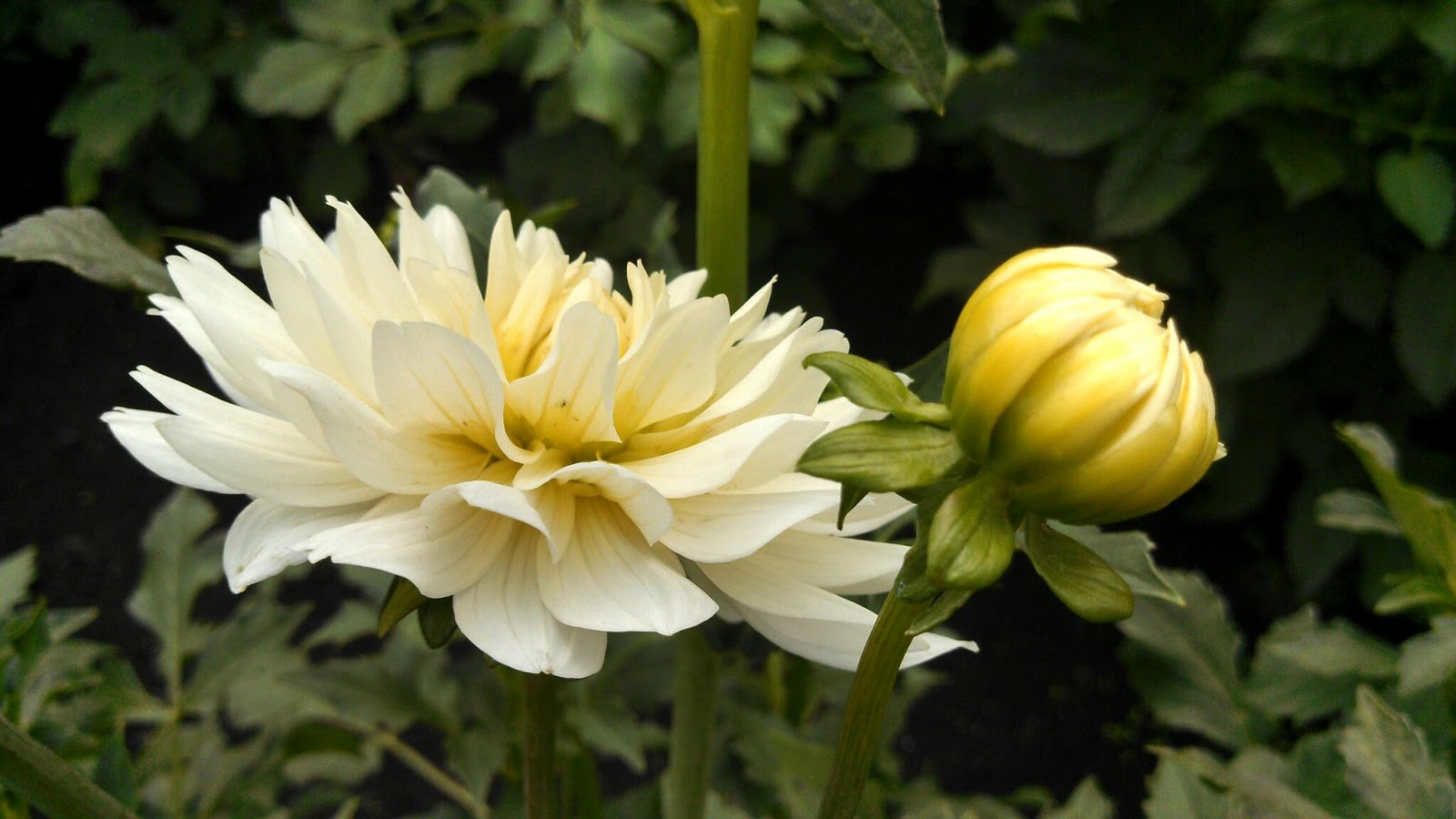 Ladder of mercy dahlia season pictures the seeds especially when the parent flowers are in a garden with lots of close by different varieties can produce all kinds of fun surprises izmirmasajfo