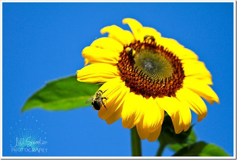 sunflower-5543
