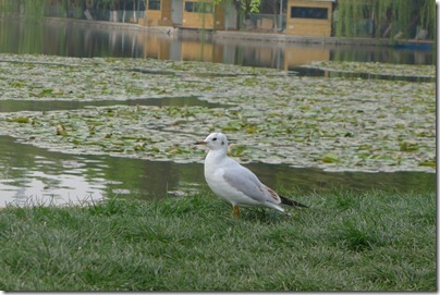 seagull in Green Lake 翠湖