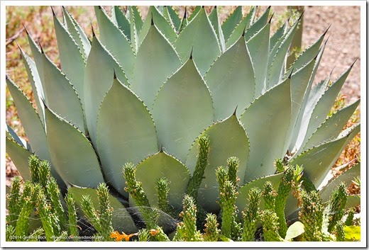 Agave_parryi euphorbia