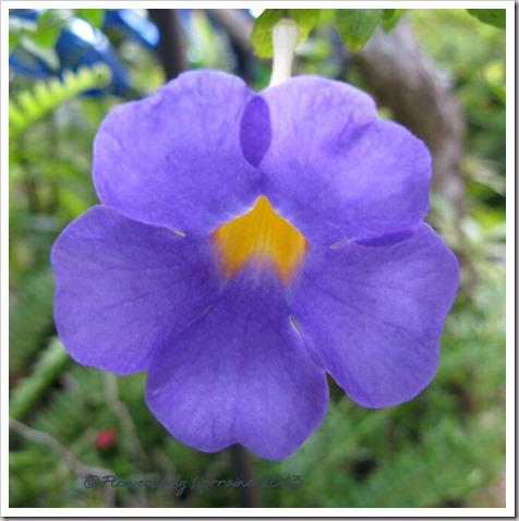 07-19-thunbergia-erecta