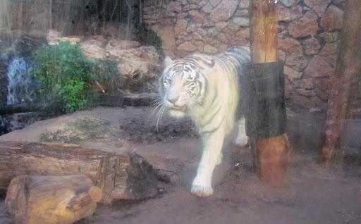 i tigr vhaifskom zooparke.jpg
