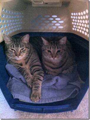 kitties in carrier 1