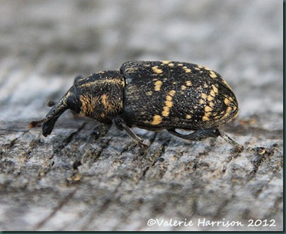 pine-weevil-Hylobius-abietis