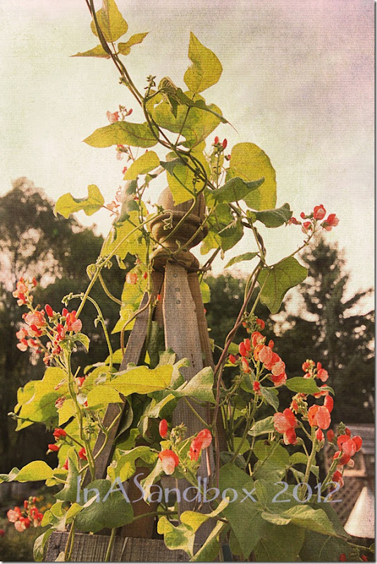 Scarlet Runner beans on obilisk