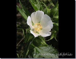 Kitaibelia-vitifolia3