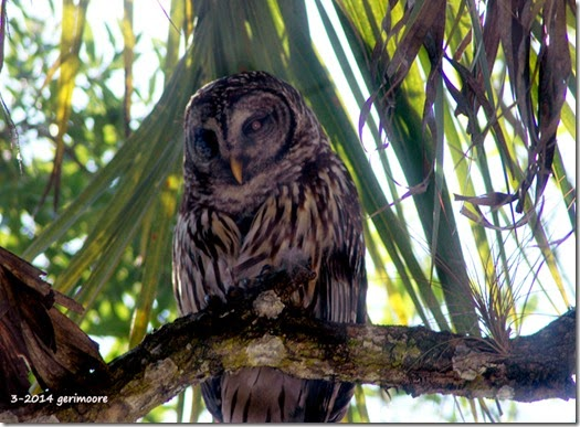mama myakka owl 005