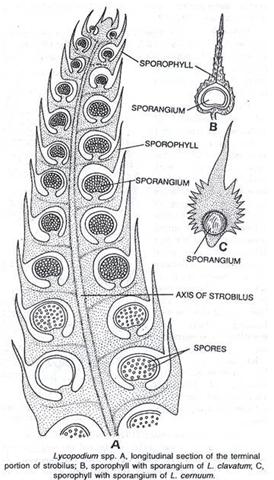Lycopodium strobilus