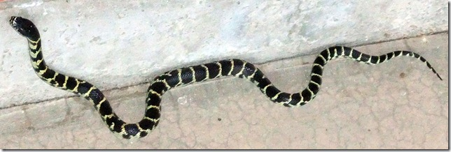 Juvenile kingsnake June 2012 6-28-2012 6-09-11 AM 2286x763