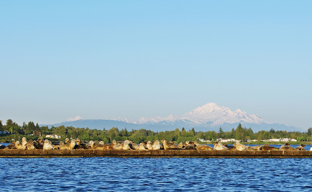 May/June 2011 1st Place/ Harbor Seals sunning themselves at Semiahmoo / Credit: Muthiah Rahim