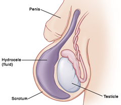 Testicular embryology