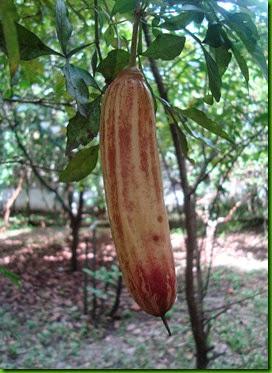 Parmentiera edulis - Guajilote (2)