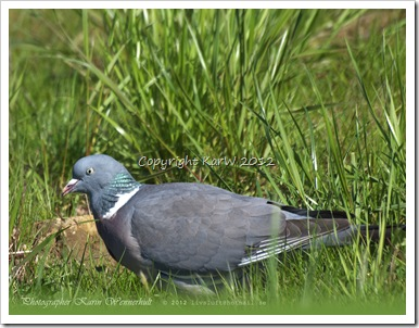 This cute Ring Dove is looking for food in the grass.