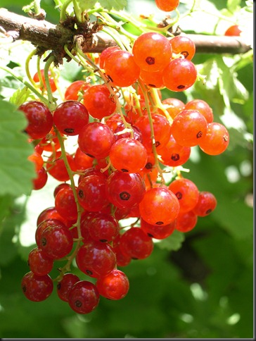red currants 2