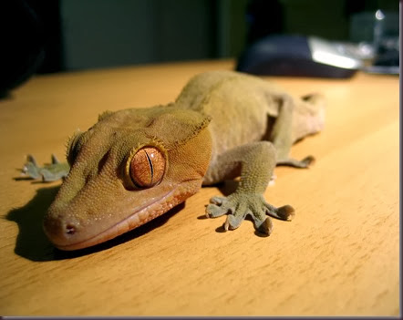 Amazing Animal Pictures crested geckos (10)