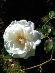 rosz blanche