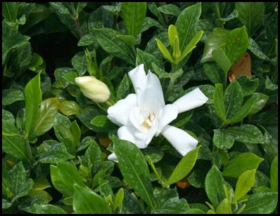 gardenia6