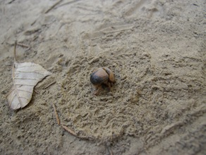 burrowing beetle with dirt pattern