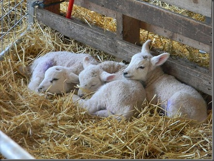 lambs 014[6]