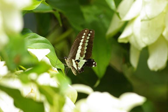 Papilio demolion demolion CRAMER, [1776]. Sepilok, 10 août 2011. Photo : J.-M. Gayman