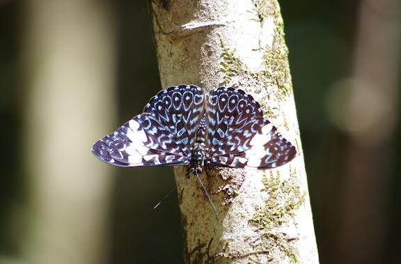 Hamadryas amphinome (L., 1767). Premier layon, Patawa (Montagne de Kaw), 23 octobre 2012. Photo : J.-M. Gayman