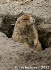 prarie dog holeV1 0407