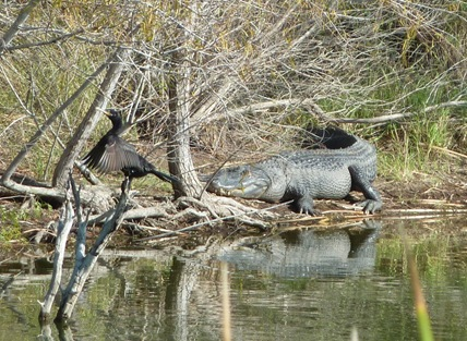 Neotropic Cormorant and Alligator