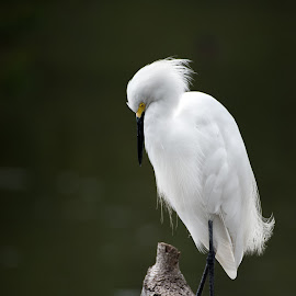 snowy egret by Edward Nelson - Animals Birds ( southeast louisiana, white bird, snowy egret, white heron, bird photography )