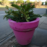 Our crazy potplant, moved with great difficulty to the roadside