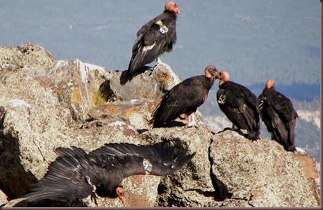 Amazing Animals Pictures California Condor (6)