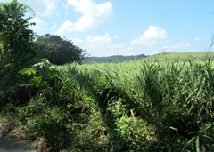 Sugar Cane Fields on the Plantation.